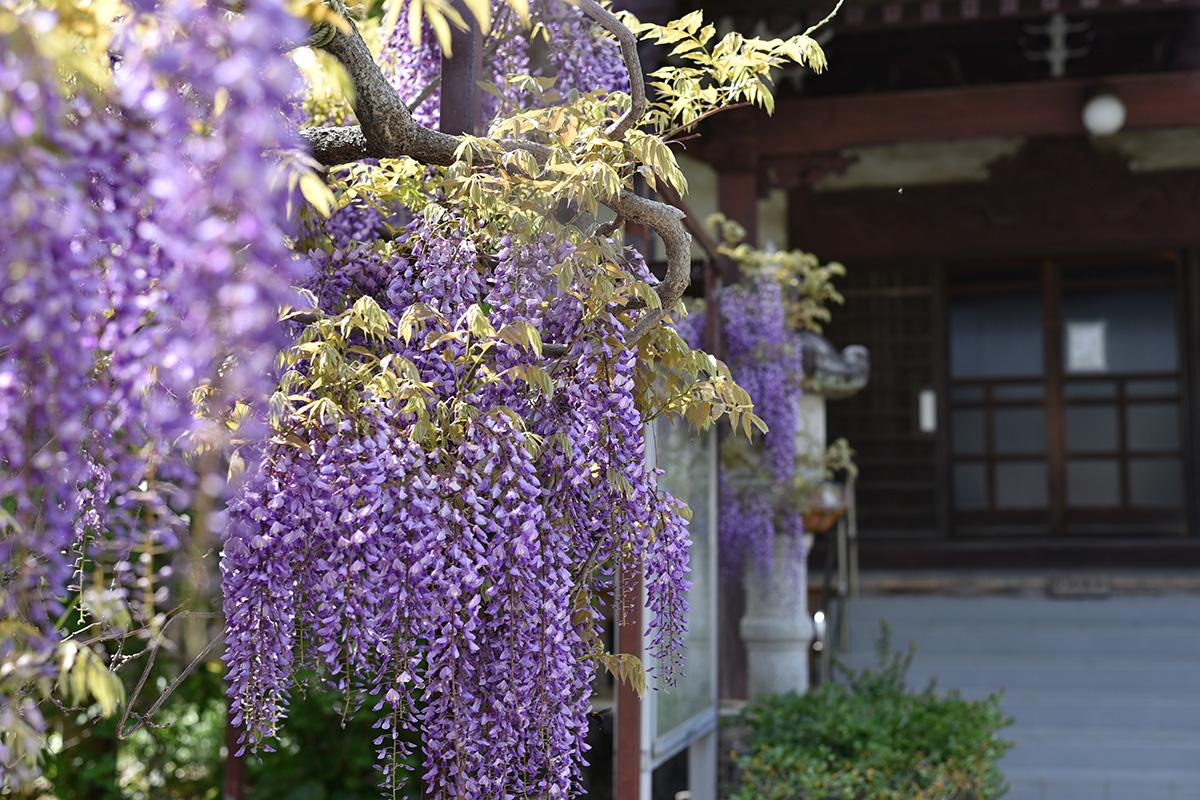 藤の花下田稲田寺